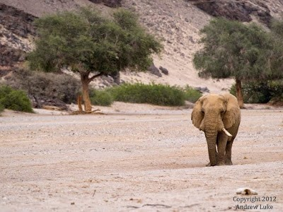 Desert elephant in an ephemeral river, Namibia